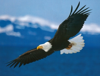 Soaring Eagle set free